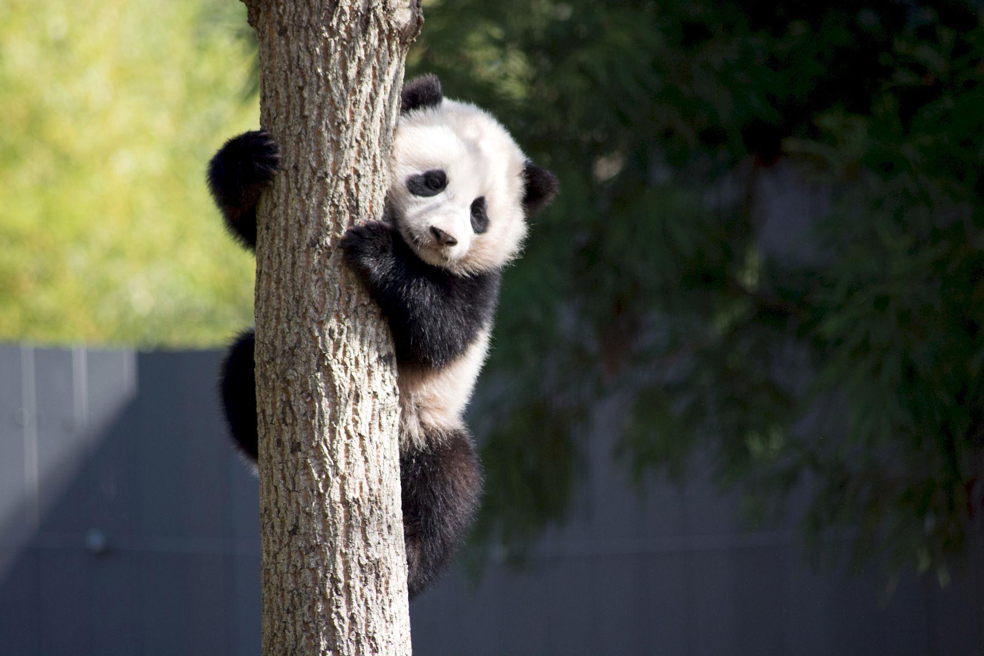 Photo of Bao Bao: Female giant panda